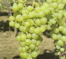 Sudové víno Irsai Oliver