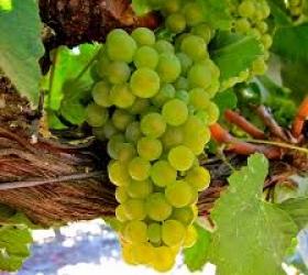 Sudové víno Goldgood