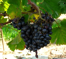Sudové víno Frankovka modrá